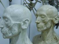 Muskelköpfe, Anatomische Sammlung, Credit: HfbK Dresden, Kustodie, Foto Maria Katharina Franz