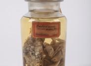 Stark bewachsene Strandkrabben aus Cuxhaven, um 1885 gesammelt von Friedrich Dahl, der den Biotopbegriff geprägt hat. Der starke Bewuchs deutet auf eine Abwehrschwäche durch Stress oder Parasitismus hin. Foto: Axel Petersen-Schmidt